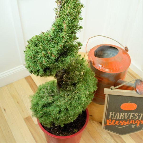 Dwarf Alberta Spruce Spiral Topiary Buy At Nature Hills