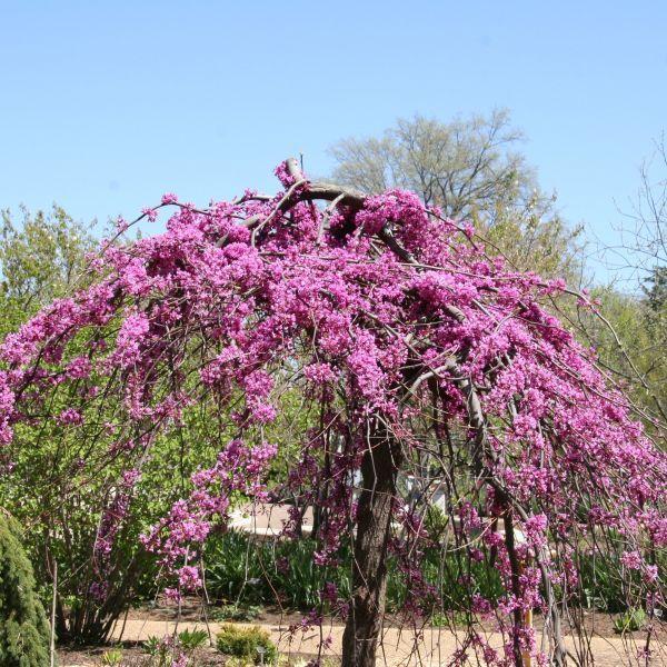 Lavender Twist Weeping Redbud Buy At Nature Hills Nursery