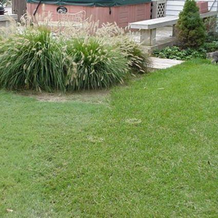 Legacy Buffalo Grass Plugs Buy At Nature Hills Nursery