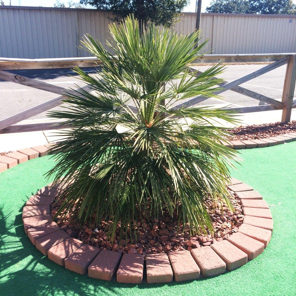 Mediterranean Fan Palm Tree Buy At Nature Hills Nursery