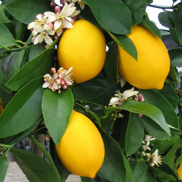 Improved Dwarf Meyer Lemon Tree Naturehills Com