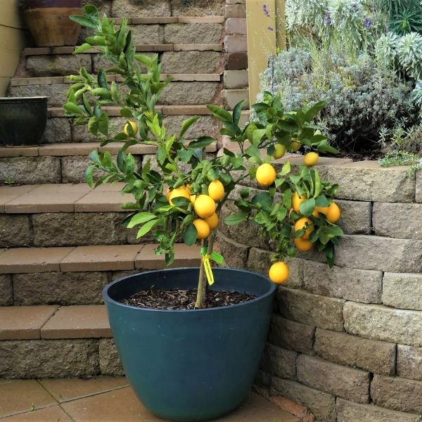 Improved Dwarf Meyer Lemon Trees