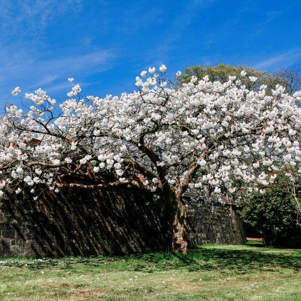 Mount Fuji Flowering Cherry Naturehills Com