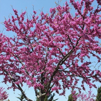 Oklahoma Redbud Tree Buy At Nature Hills Nursery