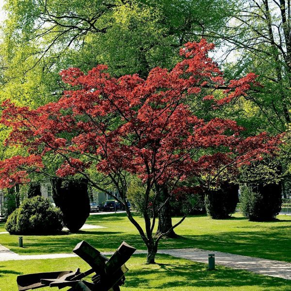 Dwarf Japanese Maple Buy At Nature Hills Nursery