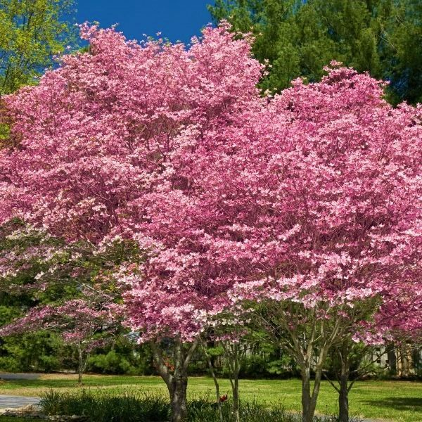 Pink Flowering Dogwood Buy At Nature Hills Nursery