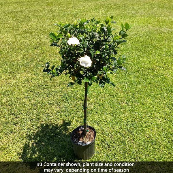 Aimee Gardenia Tree Form Nature Hills Nursery