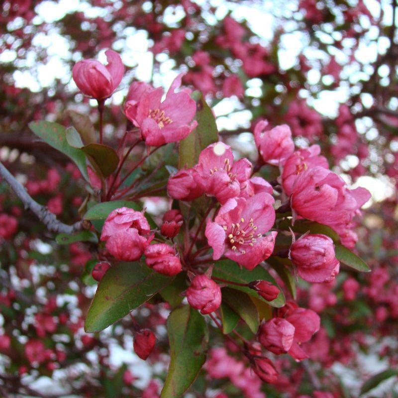 Prairifire Crabapple Trees Nature Hills Nursery