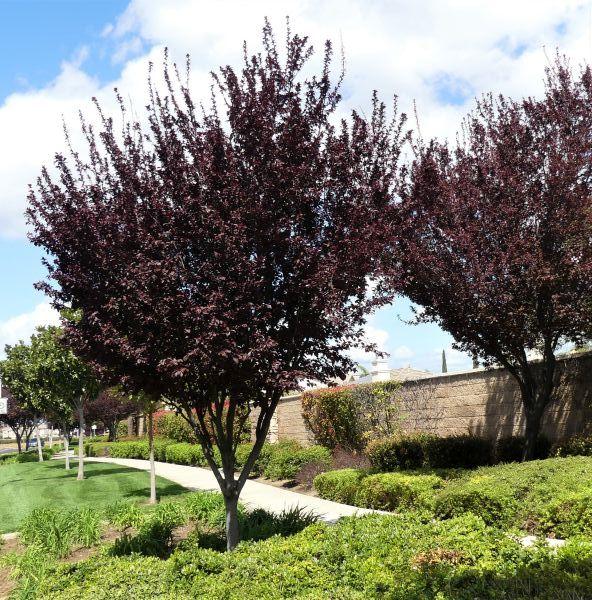 Thundercloud Plum Buy At Nature Hills Nursery