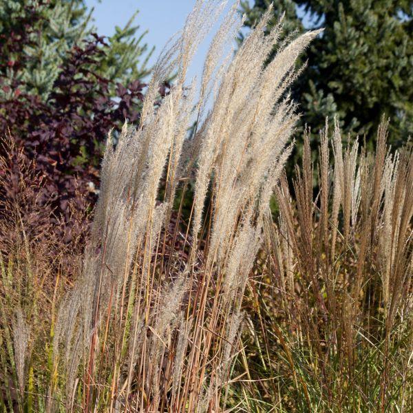 Purple Flame Grass Naturehills Com