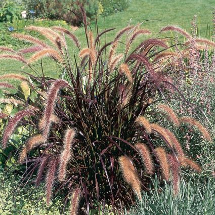 Purple Fountain Grass Buy At Nature Hills Nursery