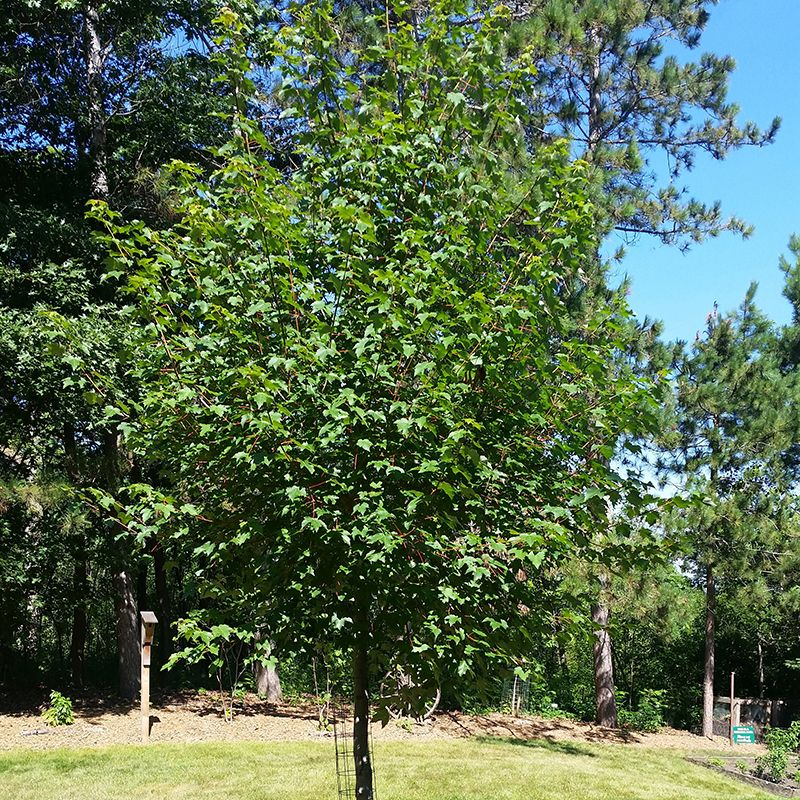 Red Maple Tree Buy At Nature Hills Nursery