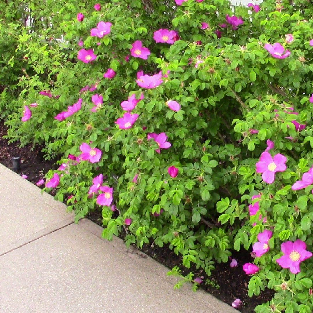 Pink Rugosa Rose Buy At Nature Hills Nursery