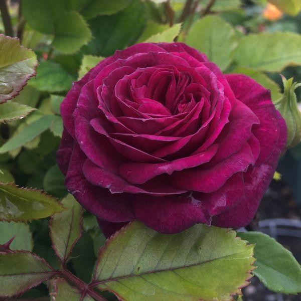 Ebb Tide Rose Buy Floribunda Roses At Nature Hills Nursery