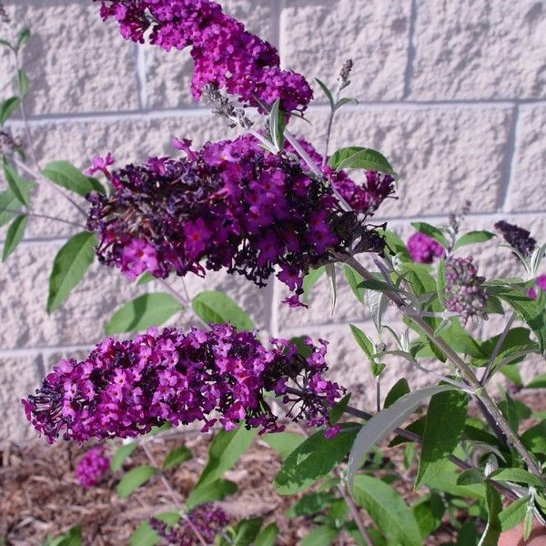 Royal Red Butterfly Bush Buy Online At Nature Hills Nursery