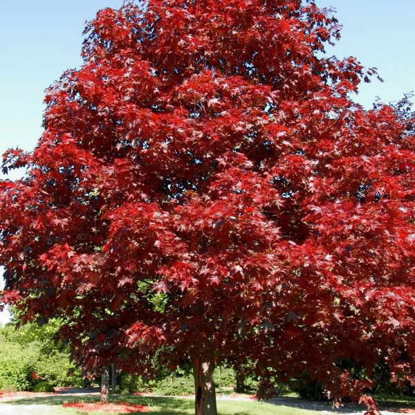 Royal Red Maple Buy At Nature Hills Nursery