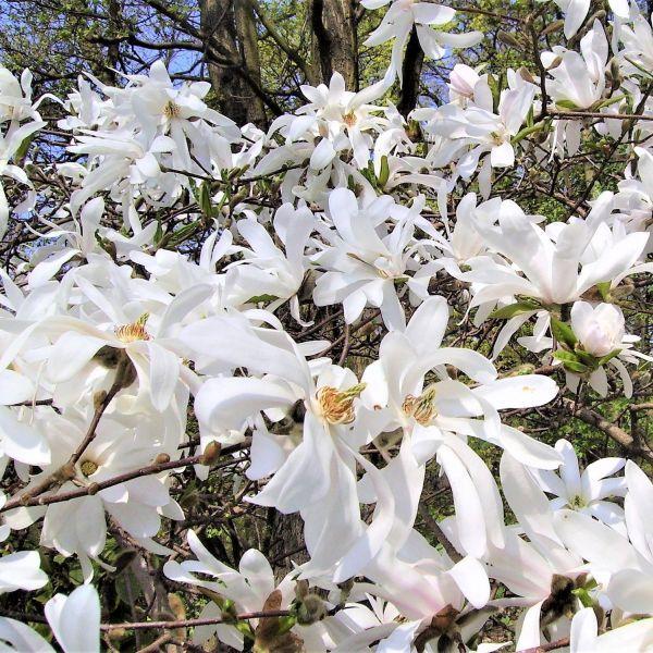 Royal Star Magnolia Buy At Nature Hills Nursery