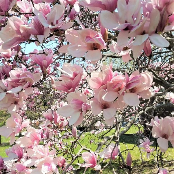 Saucer Magnolia Buy At Nature Hills Nursery