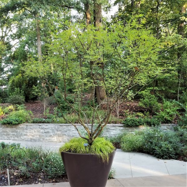 Shoal Creek Chaste Tree Buy At Nature Hills Nursery