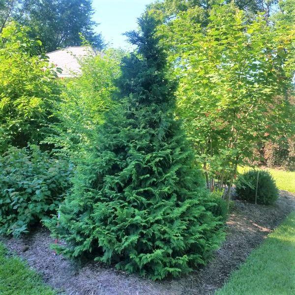 Soft Serve False Cypress Trees Nature Hills Nursery