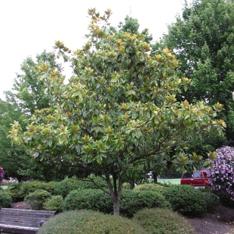 Southern Magnolia Buy At Nature Hills Nursery