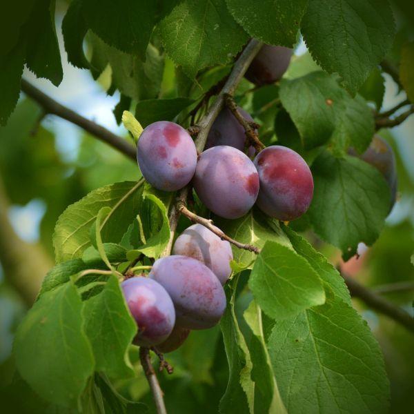 Sugar Plum Tree Buy At Nature Hills Nursery