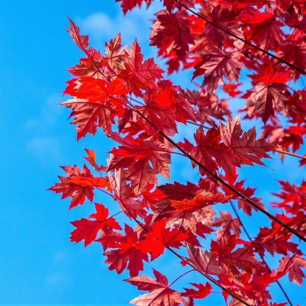 Summer Red Maple Tree Naturehills Com