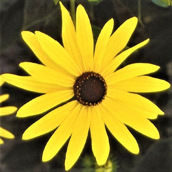 Closeup of Sweet Black-Eyed Susan flower with yellow petals and dark brown center