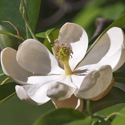 Sweet Bay Magnolia Buy At Nature Hills Nursery