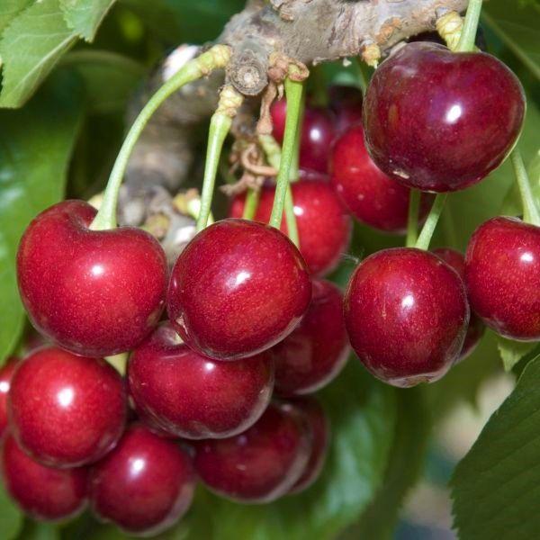 Sweetheart Cherry Tree Buy At Nature Hills Nursery