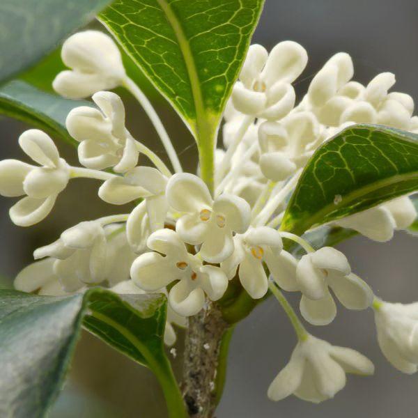 Fragrant Tea Olive Buy Online At Nature Hills Nursery