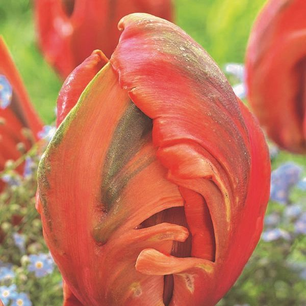 Avignon Parrot Tulip Bulbs Buy At Nature Hills Nursery