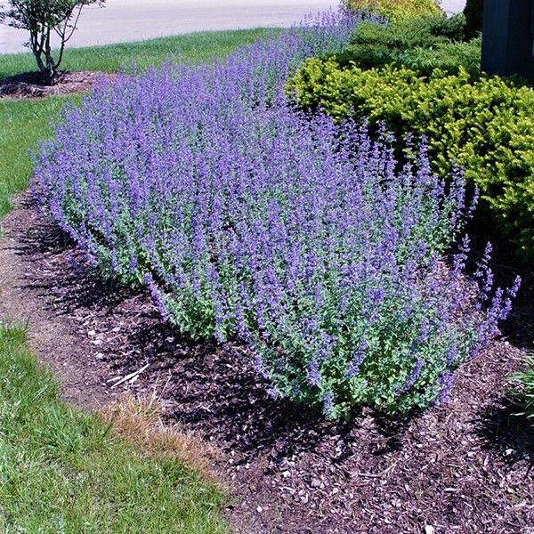 Walker S Low Catmint Buy At Nature Hills Nursery