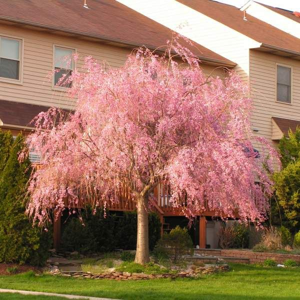 Weeping Cherry Buy At Nature Hills Nursery