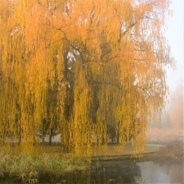 Weeping Willow Trees Naturehills Com