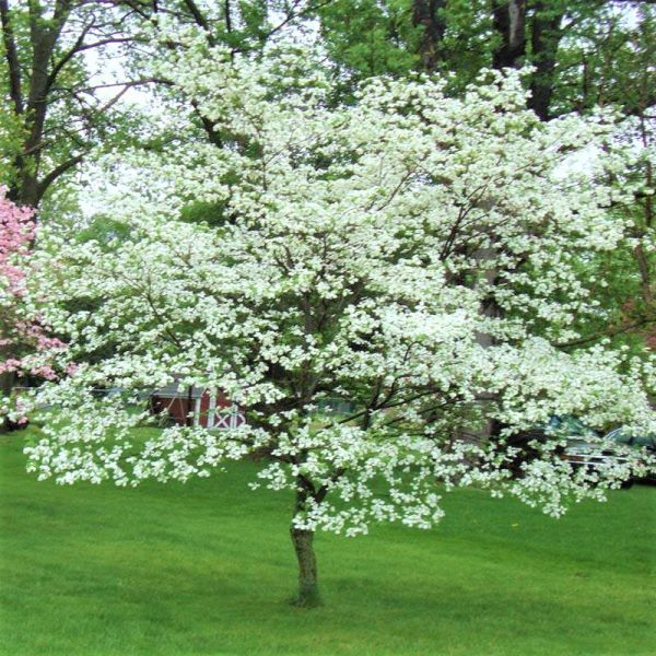 White Flowering Dogwood Buy At Nature Hills Nursery