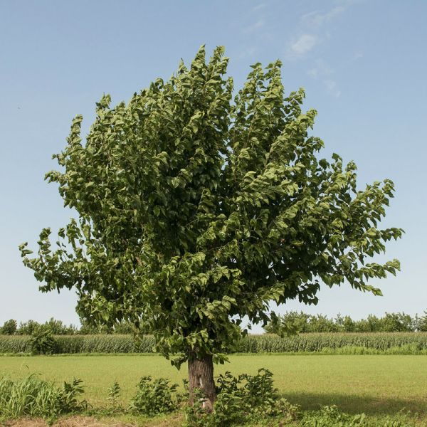 White Mulberry At Nature Hills