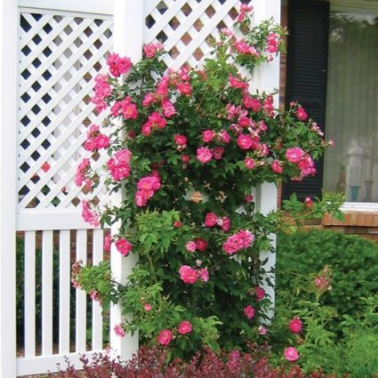 William Baffin Climbing Rose Buy At Nature Hills Nursery