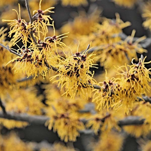Common Witch Hazel Nature Hills Nursery