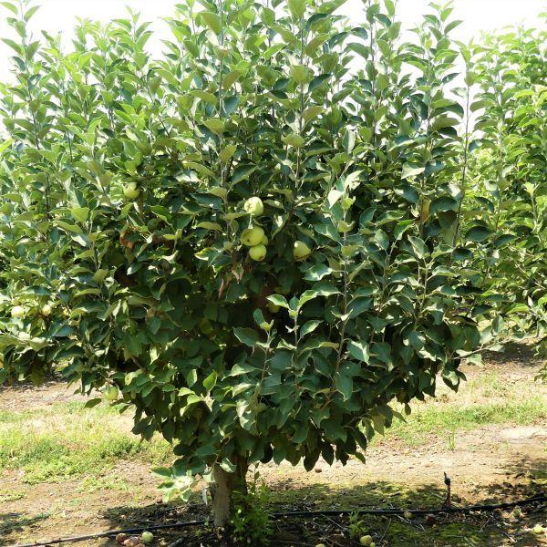 Yellow Transparent Apple Tree Buy At Nature Hills Nursery