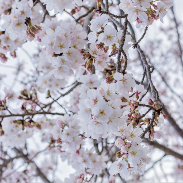 Yoshino Weeping Cherry Tree At