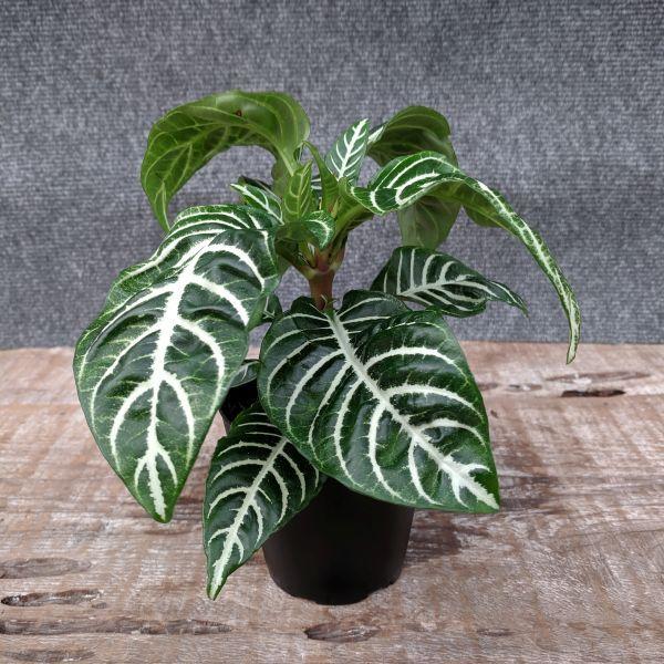 zebra plant1
