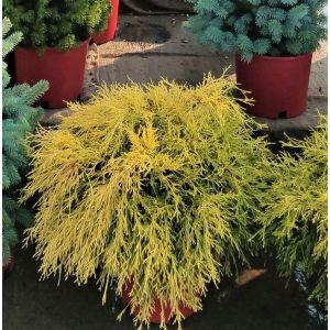Golden Mop False Cypress Overview