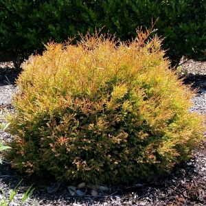 Fire Chief Arborvitae Overview