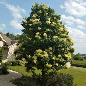Ivory Silk Lilac Full Tree Overview