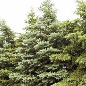 Colorado Spruce Overview