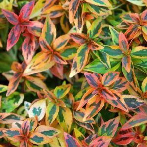 Abelia Kaleidoscope Leaves