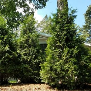 Affinity American Arborvitae Overview