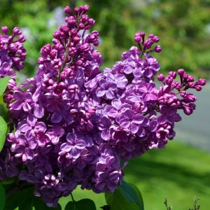 Agincourt Beauty Lilac Overview