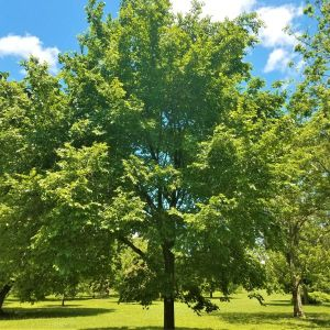 American Elm Overview
